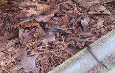 Ring-necked snake, Unexpected Wildlife Refuge photo