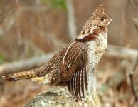 Ruffed grouse, Unexpected Wildlife Refuge photo