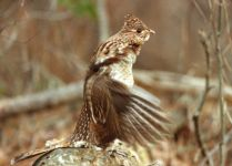 Ruffed grouse drumming, photo by Ed Abbott