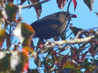 Rusty blackbird eating dogwood berries, Unexpected Wildlife Refuge photo