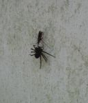 Rusty spider wasp with spider (dark fishing or wolf) on wall of Miller House (Aug 2020)