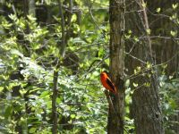Scarlet tanager, Unexpected Wildlife Refuge photo