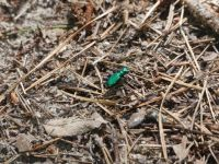 Six-spotted tiger beetle near Miller House (Jul 2020)