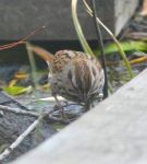 Song sparrow, Unexpected Wildlife Refuge photo