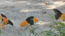 Spicebush swallowtail butterflies on butterfly weed, Unexpected Wildlife Refuge photo