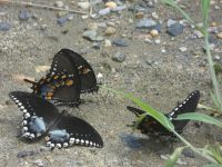 Spicebush swallowtail butterflies, Unexpected Wildlife Refuge photo