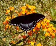 Spicebush swallowtail butterfly, Unexpected Wildlife Refuge photo