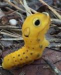 Spicebush swallowtail caterpillar, Unexpected Wildlife Refuge photo