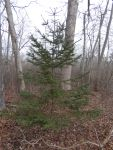Spruce tree, young, near headquarters (Jan 2020)
