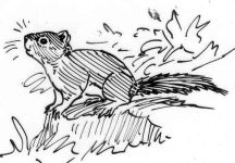 Squirrel, sketch by Hope Sawyer Buyukmihci, Refuge co-founder and artist