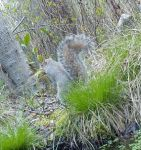 Squirrel gathering nesting materials, Unexpected Wildlife Refuge photo