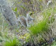 Gray squirrel gathering nesting material, Unexpected Wildlife Refuge trail camera photo