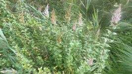 Steeplebush at closed end of Unexpected Road (Jul 2019)