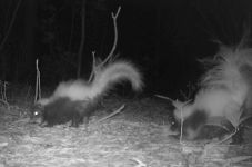Striped skunk babies, Unexpected Wildlife Refuge trail camera photo