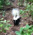 Baby striped skunk, Unexpected Wildlife Refuge photo