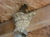 Swallow nest in an old building on Refuge land, far from Headquarters (Jul 2020)