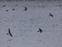 Swallows over main pond, Unexpected Wildlife Refuge photo