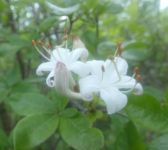 Swamp azalea, Unexpected Wildlife Refuge photo