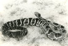 Timber rattlesnake, photo by Hope Sawyer Buyukmihci (1984)
