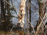 Tree gnawed by beavers near Bluebird Trail (Mar 2020)