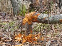 Tree downed by beaver, Unexpected Wildlife Refuge photo