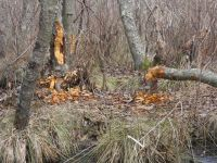Trees downed by beavers, Unexpected Wildlife Refuge photo