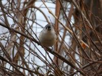 Tufted titmouse in tree, Unexpected Wildlife Refuge photo