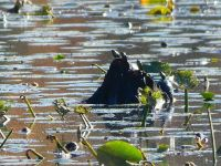 Turtles sunning themselves on stump in main pond, Unexpected Wildlife Refuge photo