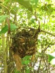 Vireo nest, Unexpected Wildlife Refuge photo