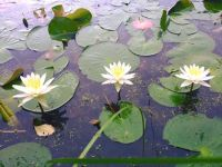 American white water lilies, Unexpected Wildlife Refuge photo