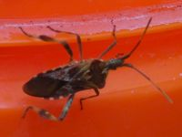 Western conifer seed bug on plastic bucket near Miller House (Mar 2020)