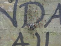 Wheel bug nest and nymphs on Boundary Trail sign (May 2020)