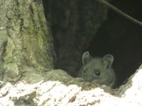 White-footed mouse near Station 12 (Jun 2020)