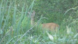 White-tailed deer, Unexpected Wildlife Refuge photo