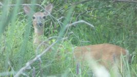 White-tailed deer at Miller Pond stream (Jul 2019)