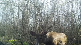White-tailed deer near Bluebird Trail (5), trail camera photo (Apr 2020)