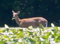 White-tailed deer eating lily in main pond (Jun 2017)