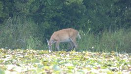 White-tailed deer, female, at main pond (Jul 2019)