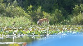 White-tailed deer forgaging for lilies in main pond; Unexpected Wildlife Refuge photo
