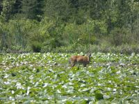 White-tailed deer grazing on lily pads in main pond, 1 (Jun 2020)