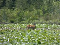 White-tailed deer grazing on lily pads in main pond, 2 (Jun 2020)