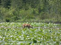 White-tailed deer grazing on lily pads in main pond, 3 (Jun 2020)