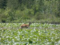 White-tailed deer grazing on lily pads in main pond, 4 (Jun 2020)