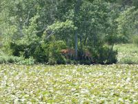 White-tailed deer on island in main pond (Jun 2018)