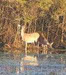 White-tailed deer in main pond (Apr 2017)