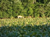 White-tailed deer in main pond, Unexpected Wildlife Refuge photo