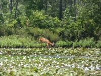White-tailed deer eating at shore of main pond (Jun 2018)