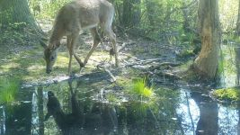 White-tailed deer, male, series near Wild Goose Blind, 1, trail camera photos (May 2020)