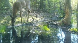 White-tailed deer, male, series near Wild Goose Blind, 2, trail camera photos (May 2020)
