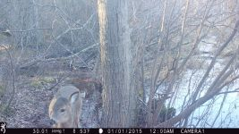 White-tailed deer at Muddy Bog (1), trail camera photo (Feb 2020)